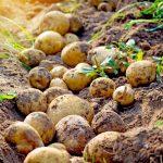 Balkonunuzda 45 Kilo Patates Yetiştirin