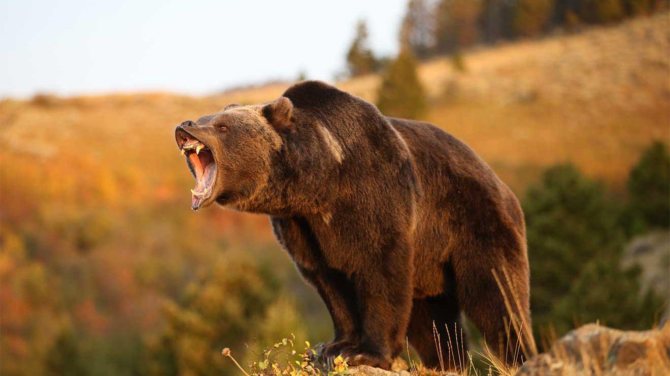Özellikle ayılar çok meraklı ve zeki hayvanlardır. Bizler gibi çoğunlukla ormanda patika yolları kullanırlar. Yürüyüş esnasında yüksek sesle